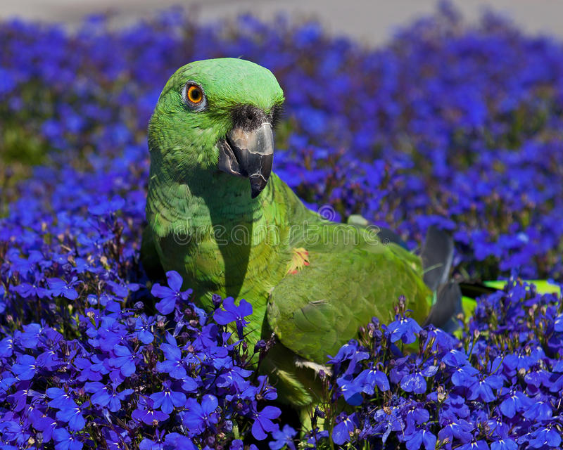 Green Parrot on blue flowers Lobelia. Yellow-naped amazon, Amazona auropalliata parrot walking on fielt of among blue flowers of Lobelia