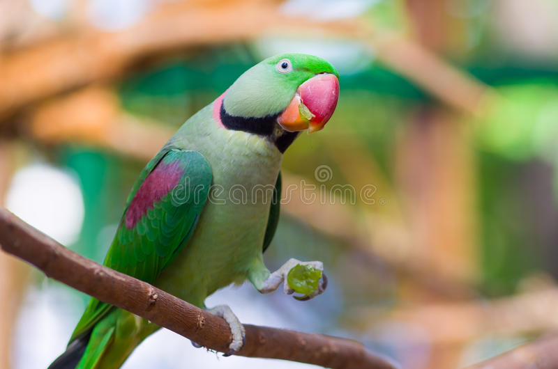 Green parrot on a branch. With a grape in his paw royalty free stock photography