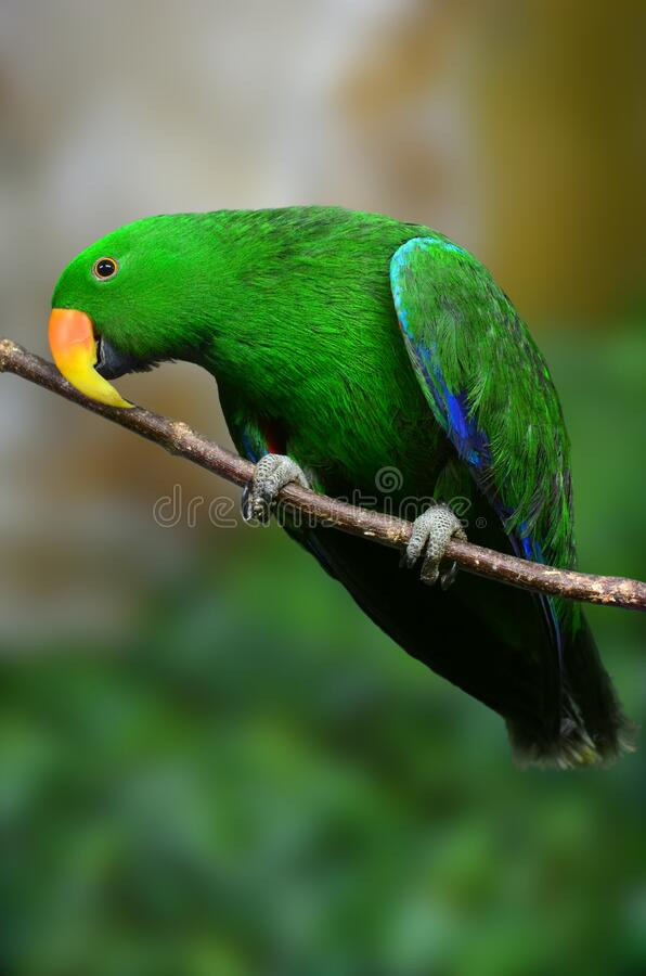 Green Parrot on a branch looking at photographer. Eclectus green parrot on a branch closeup and blurred background royalty free stock images