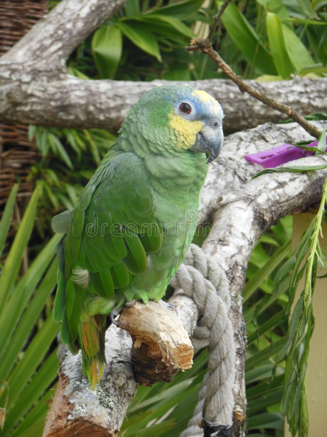 Green parrot on a branch. Green parrot sitting calmly on a branch stock photography