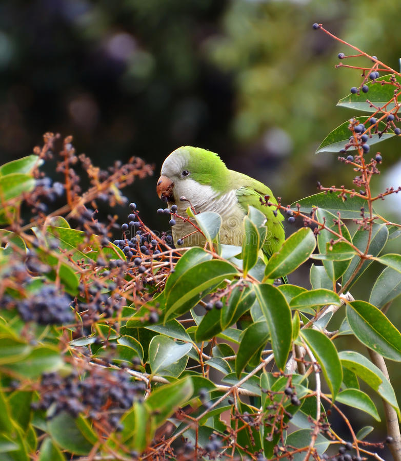 Free Green Parrot Eating Berries Royalty Free Stock Images - 23822509