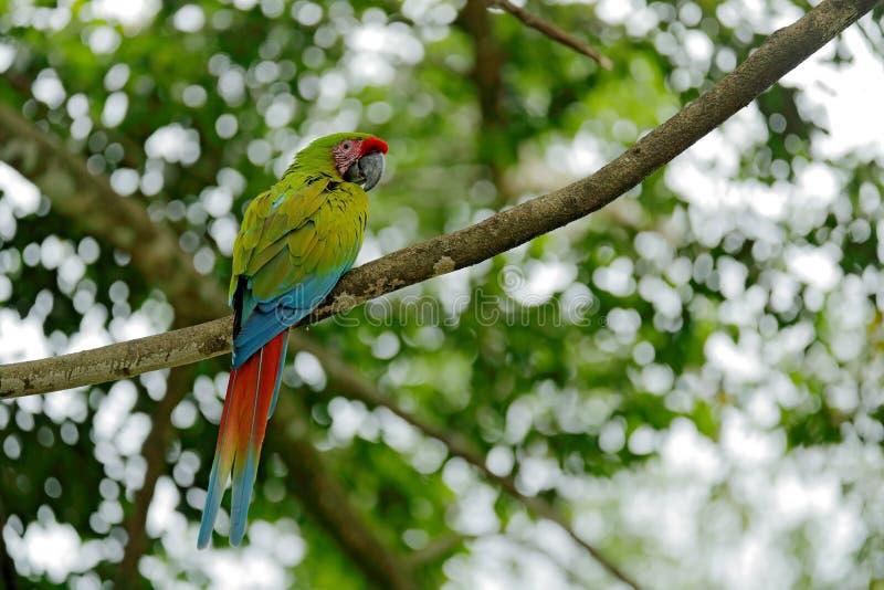 Green parrot Great-Green Macaw, Ara ambigua on pal tree. Wild rare bird in the nature habitat, sitting on the branch in Costa Rica. Wildlife scene, feeding stock photography