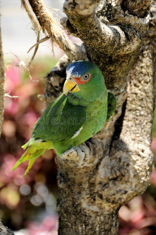 Free Green Parrot, Mexico Royalty Free Stock Images - 23055449
