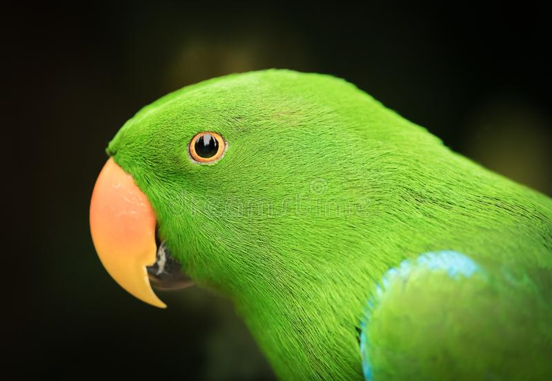 Green parrot with orange beak. A head shot of a green parrot with orange beak royalty free stock images