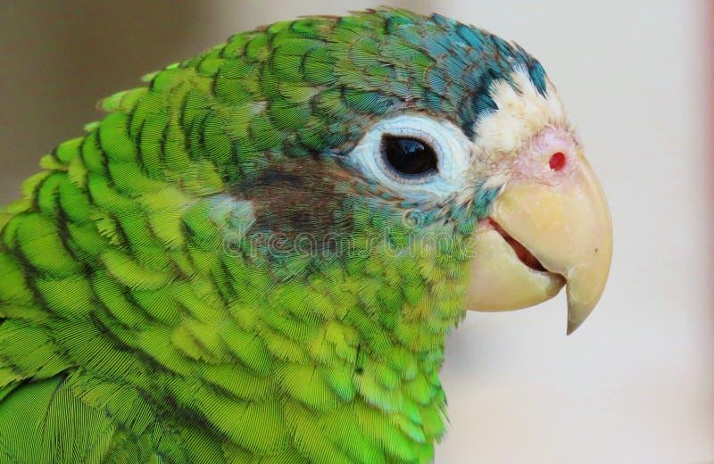Green parrot portrait stock image