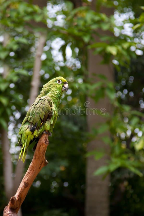Download Green Parrot Standing On Branches Royalty Free Stock Photo - Image: 18495285