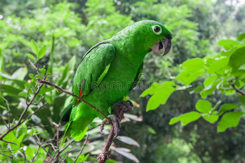 Green parrot in a tree. Green parrot in a branch stock photography