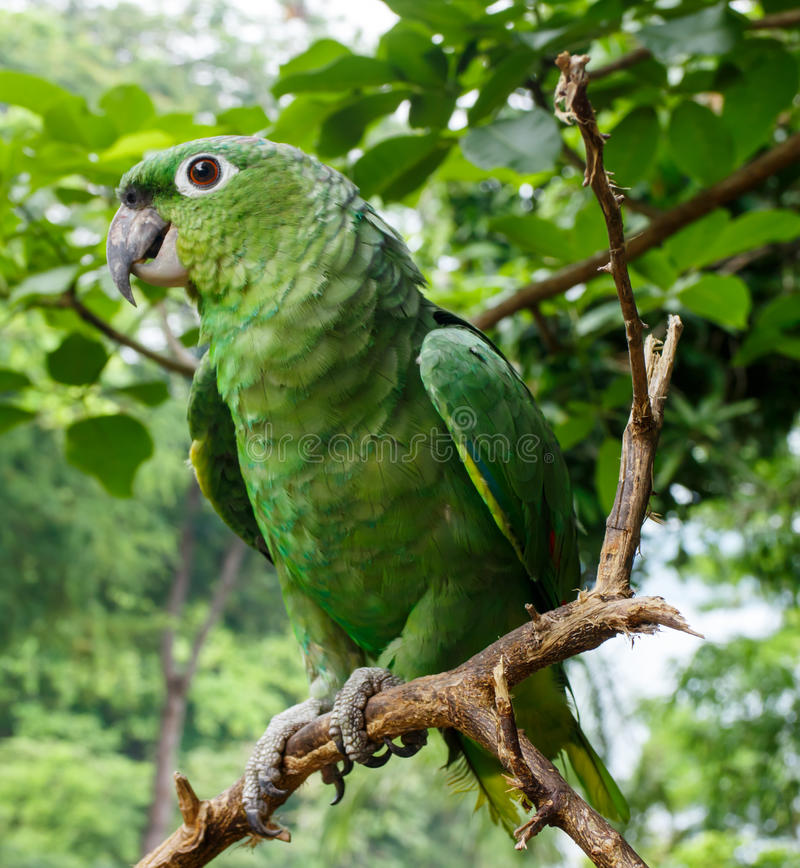 Green parrot in a tree. Green parrot in detail in a branch royalty free stock photography