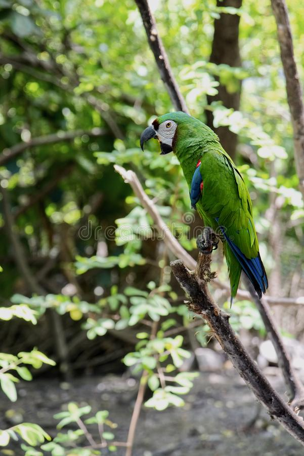 Green parrot. Wild rare bird on a branch in the natural habitat stock photography