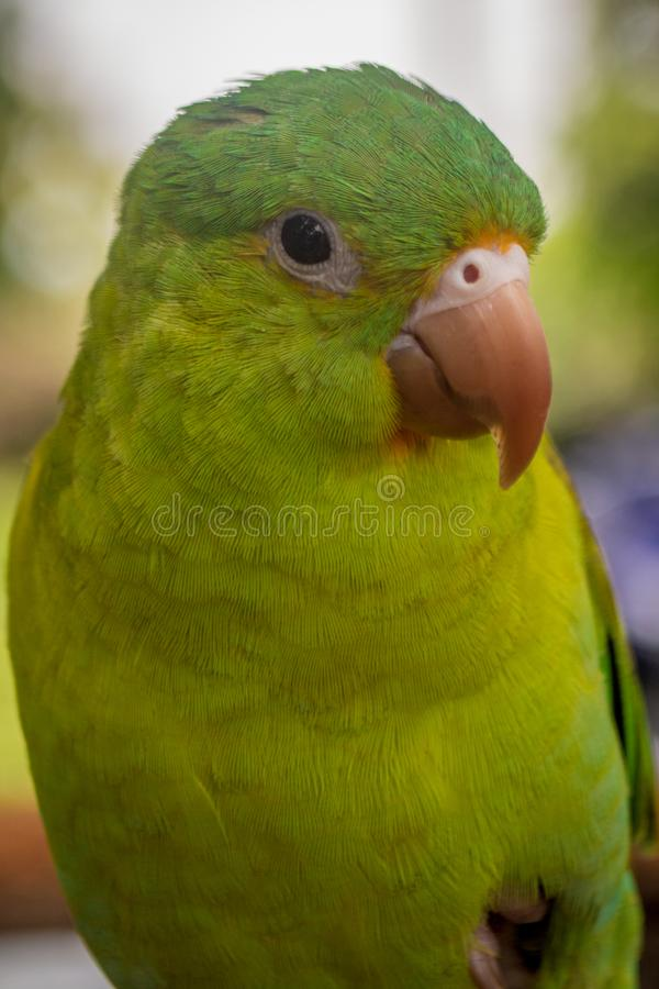 Green parrot with yellow beak. Portrait and close-up stock photography