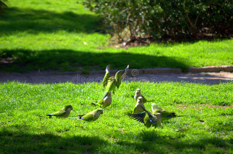 Green parrots hassle in green park. Group of quarrelling parrots on green grass in peaceful city park in residential district,Barcelona city park,Spain stock images