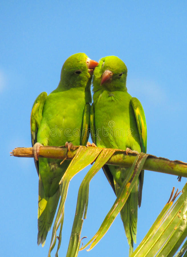 Green parrots lovely couple. Green parrots on the tree in the wild, among green palm tree leaves in tropics. Colorful green feathers. Green parrots lovely couple stock image