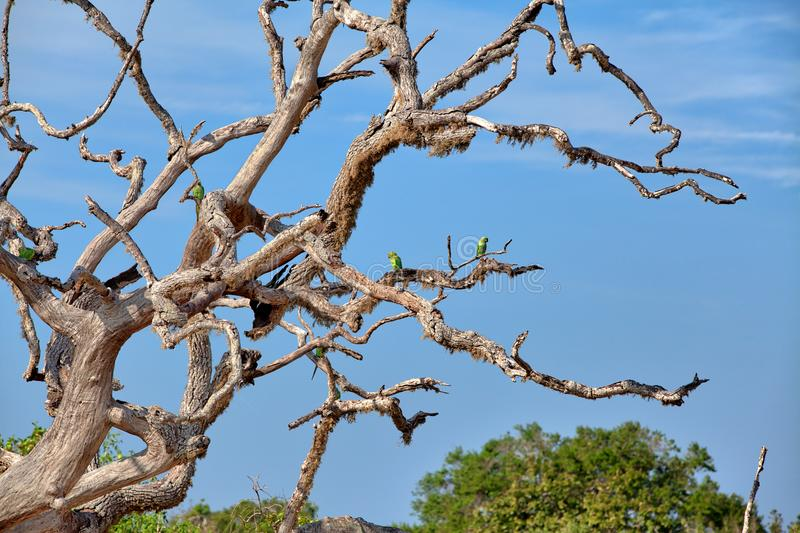Green parrots are sitting on a death tree in the Yala Nationalpark royalty free stock photography