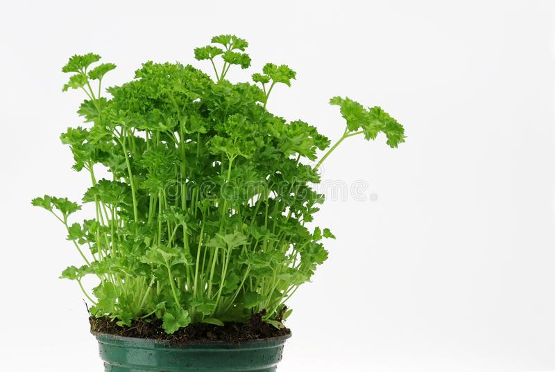 Green parsley in a pot with copy space on white stock photo