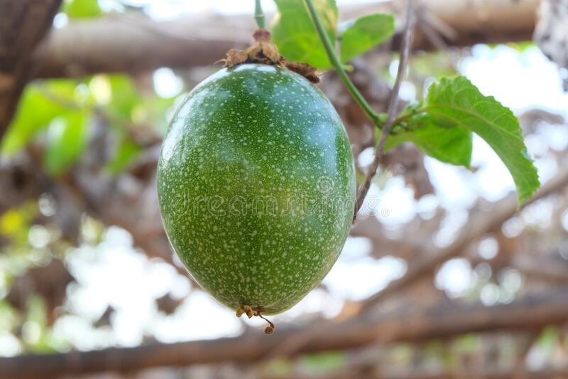 Green passion fruit in nature royalty free stock photography