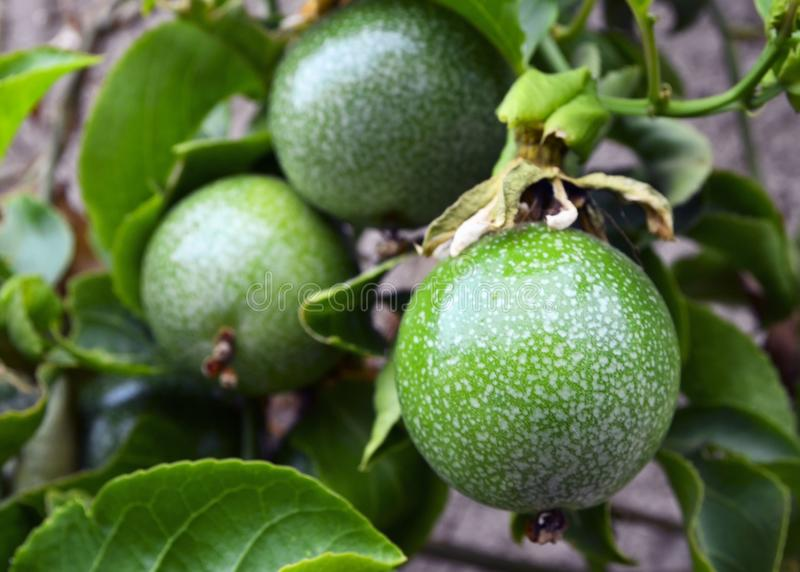 Green passion fruits hanging on the tree in tropical garden.Passiflora edulis fruit also known as Maracuya or Parcha on the vine c. Lose up.Selective focus royalty free stock image