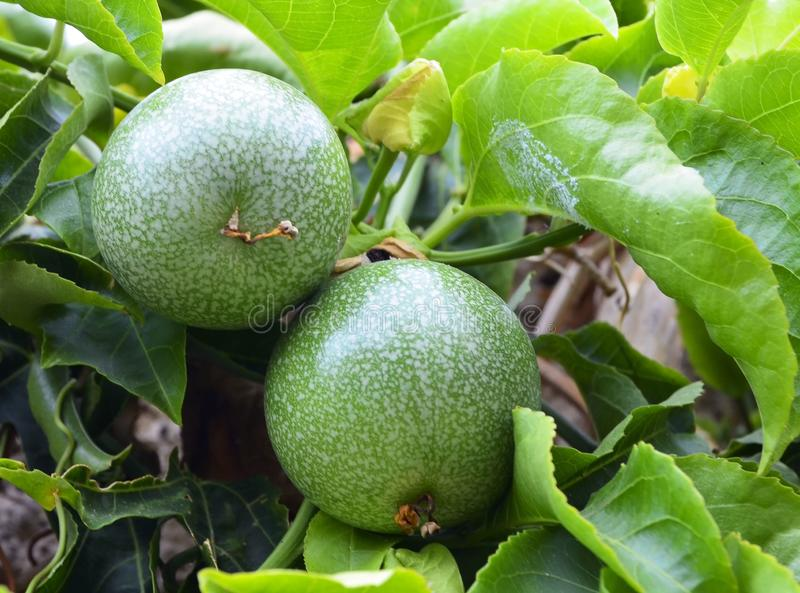 Green Passion fruits hanging on the tree in tropical garden.Passiflora edulis fruit also known as Maracuya or Parcha on the vine c. Lose up.Selective focus stock images