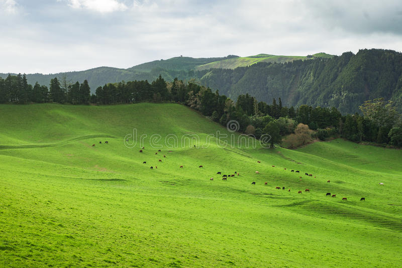 Green pasture herd of cows stock photo