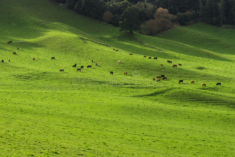 Green pasture herd of cows royalty free stock images