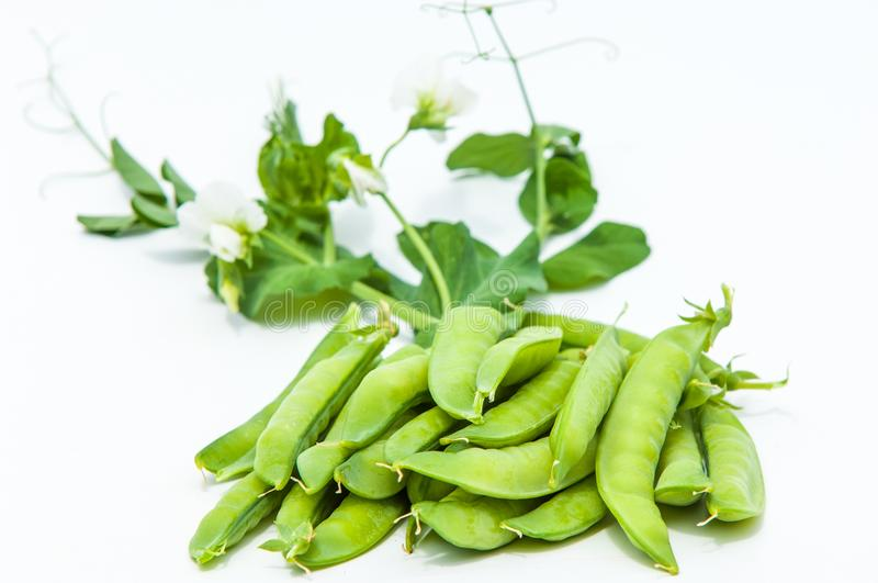 green pea. bush royalty free stock photo
