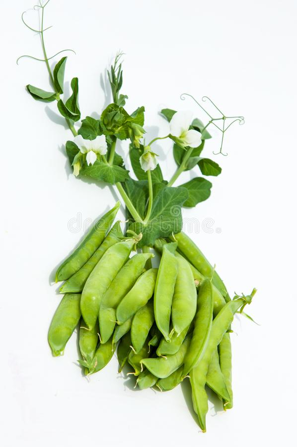 green pea. bush royalty free stock images