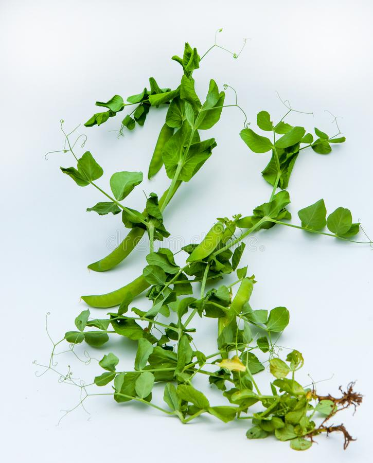 green pea. bush stock photos