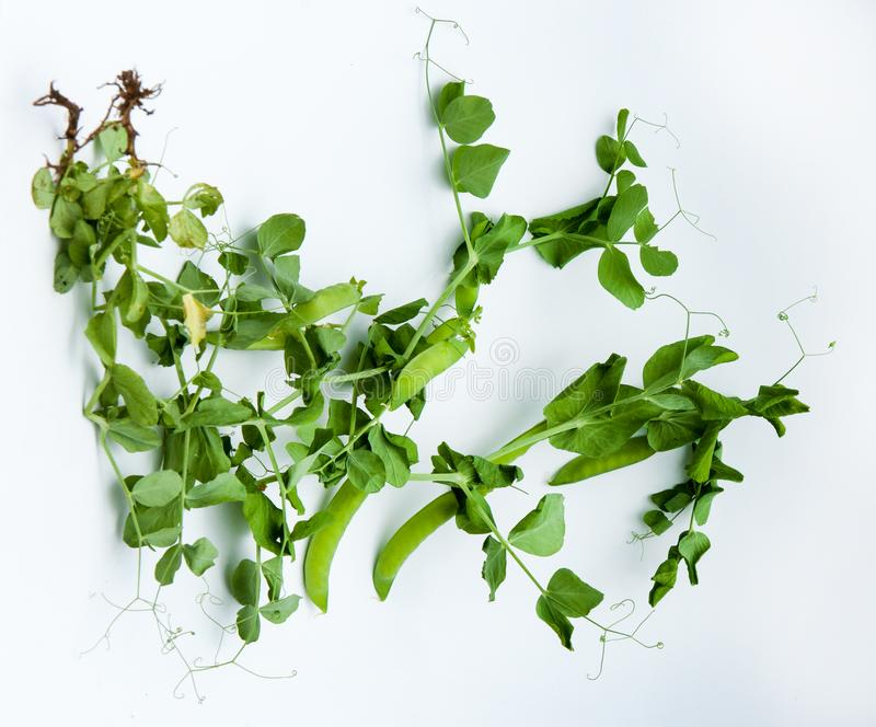 green pea. bush stock image