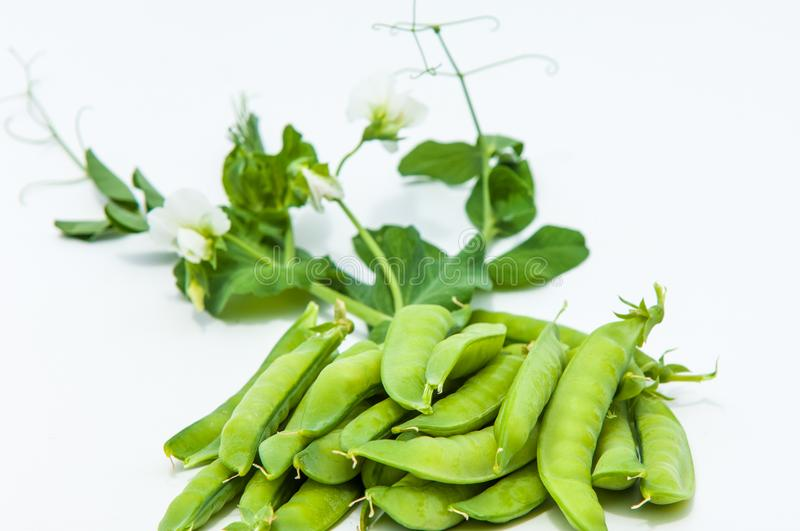 green pea. bush royalty free stock photography