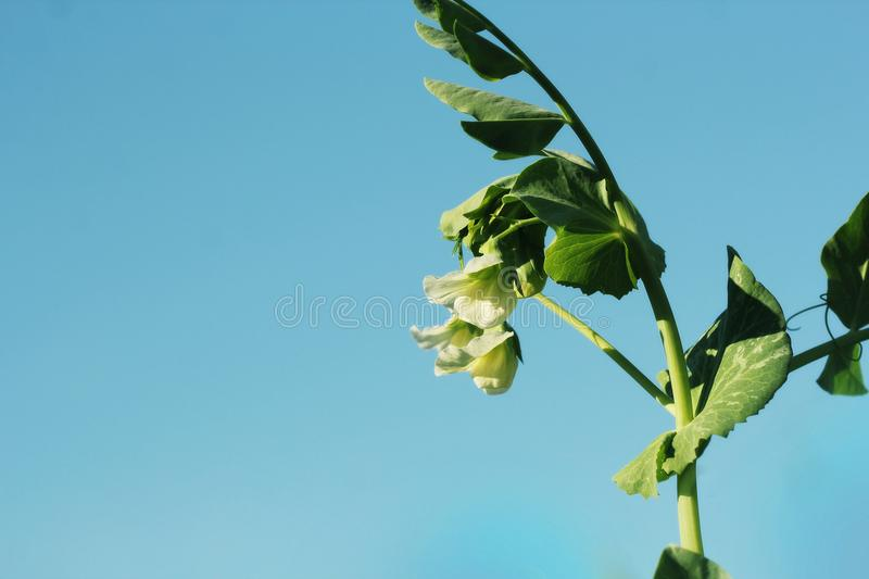 Green Pea plant with white flower on blue sky stock images