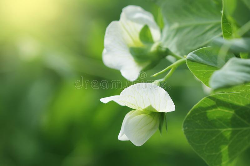 Green Pea plant with white flower in a garden stock photos