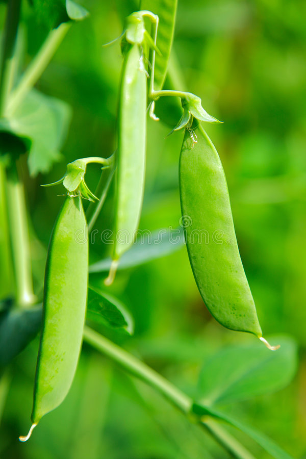 Download Green Pea Pod Stock Images - Image: 7117684