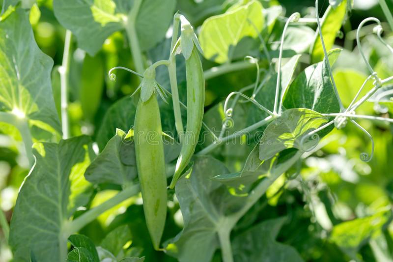 Green pea pods royalty free stock images