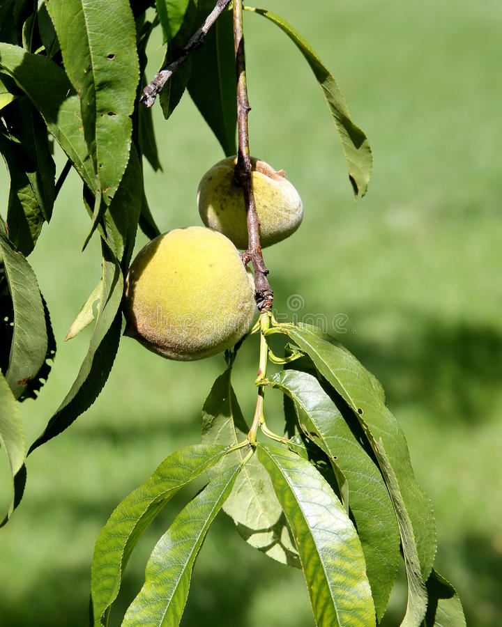 Download Green Peach Hanging On A Small Branch With Leaves Stock Image - Image: 83719321