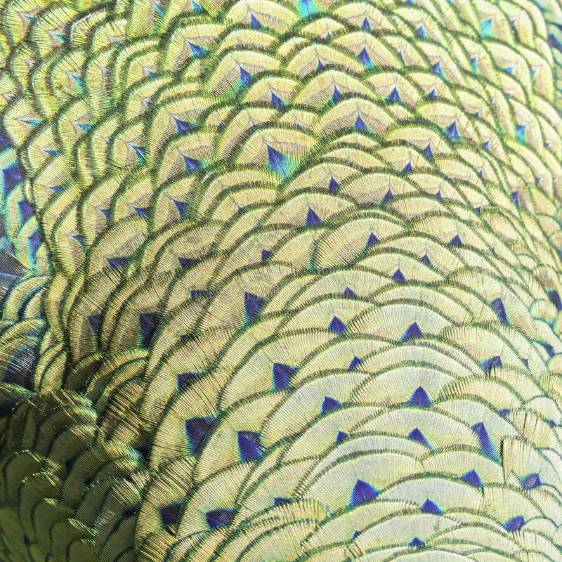Green peacock feathers. Green and blue bird plumage, green peacock feathers, texture background royalty free stock photo