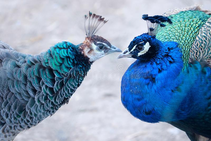 Green Peafowl and Blue Peafowl. The head close-up of Green Peafowl and Blue Peafowl. Scientific name: Pavo muticus and Pavo cristatus stock photos