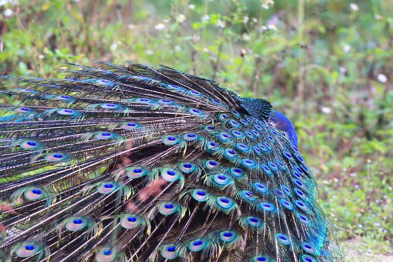 Green Peafowl. The Green Peafowl male has a beautiful colored ridge and likes to show off stock images