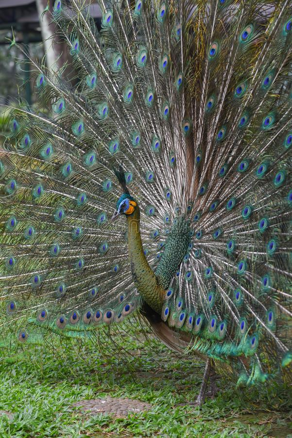 Green peafowl. The green peafowl is a species of peafowl found in the tropical forests of Southeast Asia. It is also known as the Java peafowl stock image