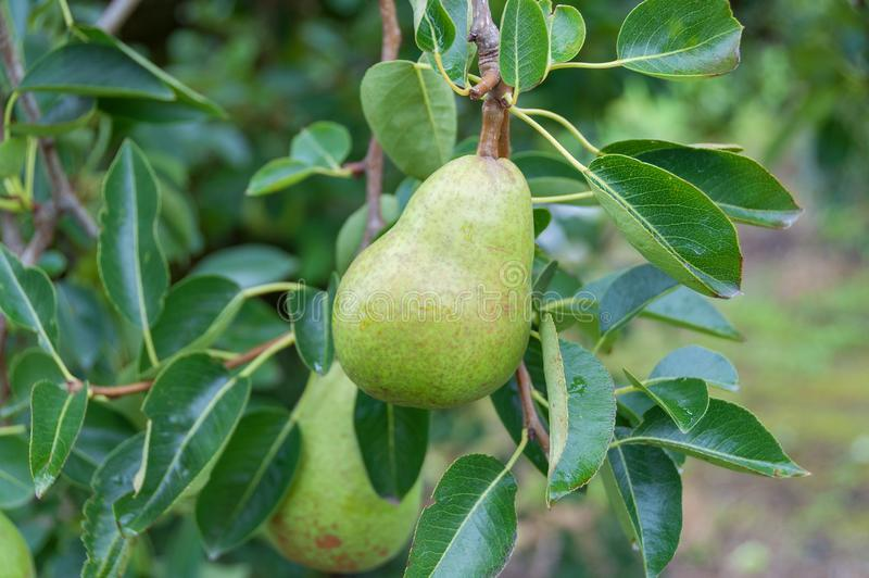 Green pear fruit hanging from the tree in the orchard. Green pear fruit hanging from the fruit tree in the orchard. Fruit farm, organic produce background stock images