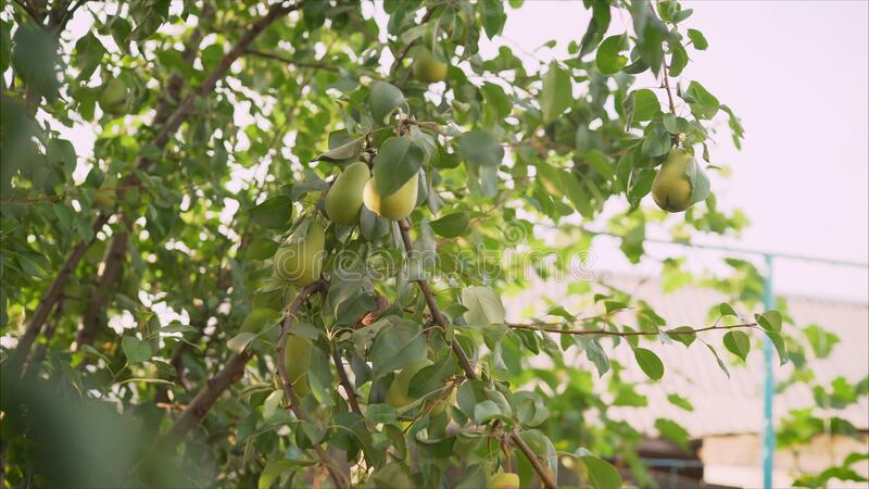 Green pear growing on a sunset background Summer harvest time in orchard garden. Organic fruits closeup. Green pear growing on a sunset background. Two yellow royalty free stock images
