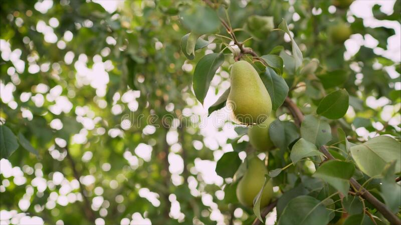 Green pear growing on a sunset background Summer harvest time in orchard garden. Organic fruits closeup. Green pear growing on a sunset background. Two yellow royalty free stock photography