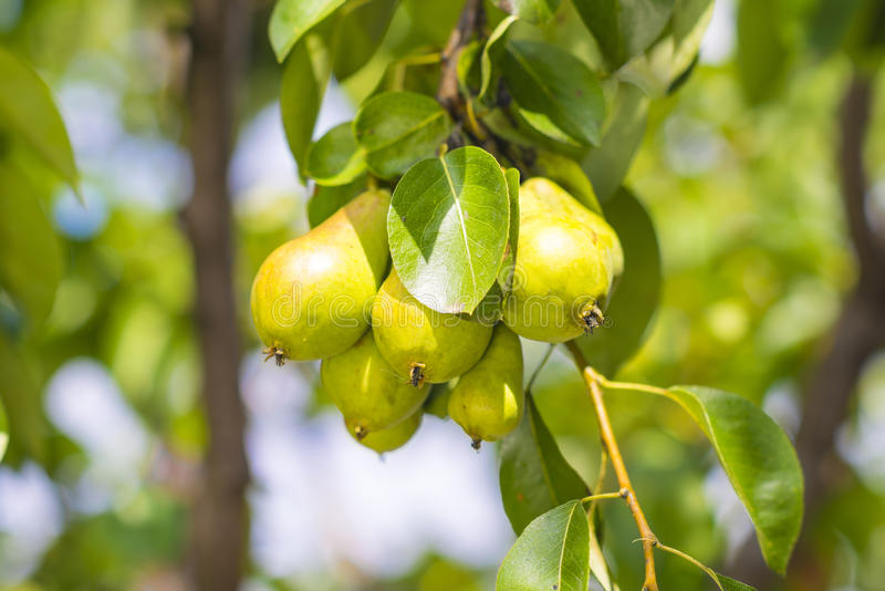 Download Green Pears Royalty Free Stock Images - Image: 31650519