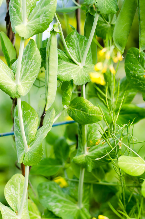 Free Green Peas With Vine In The Kitchen Garden Royalty Free Stock Photo - 58559775
