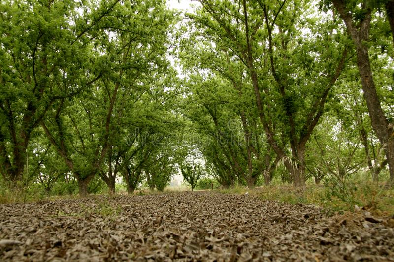 Green Pecan Grove in Autumn royalty free stock photo