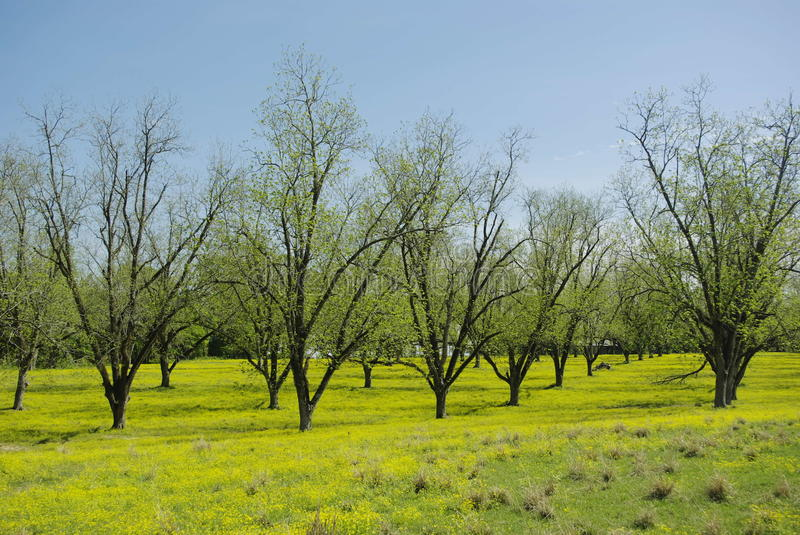 Green Pecan Grove in Spring stock images