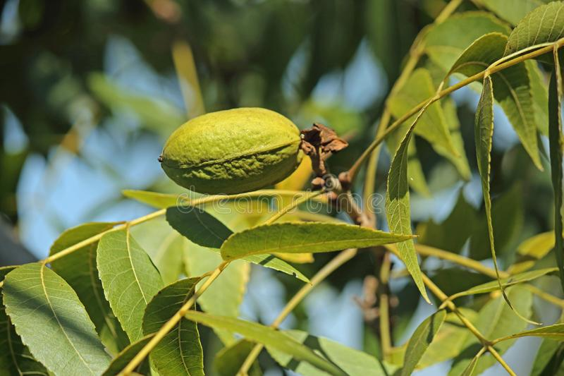GREEN PECAN NUT IN A HUSK ON A PECAN TREE. View of pecan nut tree with green foliage and bearing nuts at the end of summer in a garden royalty free stock images