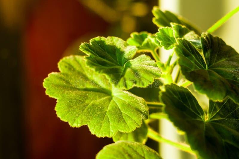Green Pelargonium Geranium leaves, close up, macro. Lovely green Pelargonium Geranium leaves, close up stock photography