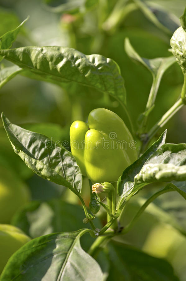 Free Green Pepper In A Haulm Stock Image - 17208801