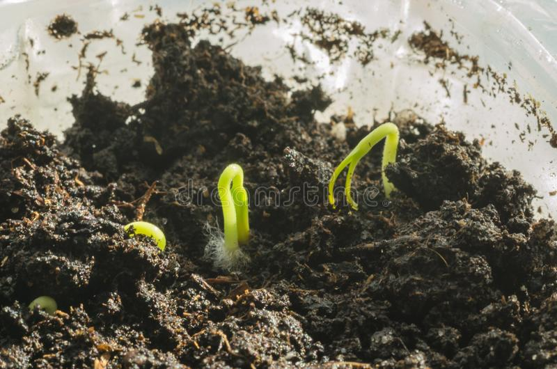 Green pepper seedlings. New concept of life. Green seedlings. New concept of life. Pepper began to grow stock photo