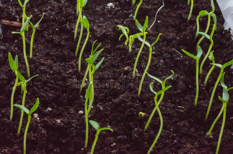 Green pepper seedlings. New concept of life. Green seedlings. New concept of life. Pepper began to grow stock photography