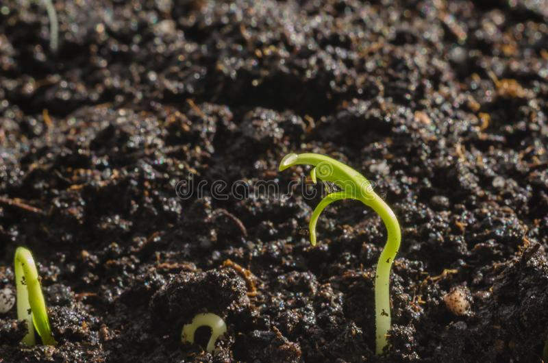 Green pepper seedlings. New concept of life. Green seedlings. New concept of life. Pepper began to grow royalty free stock photos